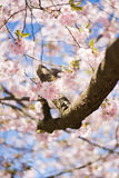 Cherry Blossom in Sweden Stock Photos