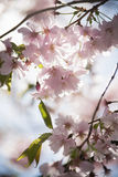 Cherry Blossom in Sweden Royalty Free Stock Image
