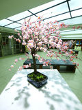 Cherry blossom on table Royalty Free Stock Photo