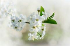 Cherry Blossom-tak Royalty-vrije Stock Foto's