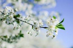 Cherry Blossom-tak Stock Foto