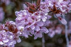 Cherry Blossom-tak Stock Foto's