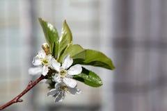 Cherry Blossom-tak stock fotografie