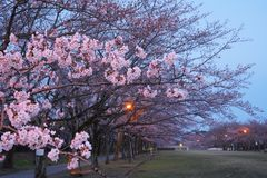 Cherry blossom at Takarano park at dawn in Tokyo. Tokyo, Japan-April 6, 2017: Takarano park in Tama City is famous for cherry blossoms or sakura. Sometimes used Stock Image
