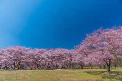 Cherry Blossom in Takato stockfotografie