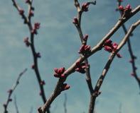 Cherry Blossom-takken tegen geweven, blauwe muur Royalty-vrije Stock Afbeeldingen