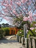 Cherry Blossom Temple. Bright pink cherry blossoms at Japanese temple Royalty Free Stock Photos