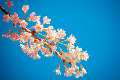 Cherry Blossom (Thai's Sakura) Stock Images