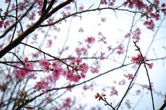 Cherry Blossom Thai Sakura dentella il fiore durante l'inverno nella provincia di ChiangMai, Thaniland fotografia stock libera da diritti