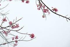 Cherry Blossom Thai Sakura dentella il fiore durante l'inverno nella provincia di ChiangMai, Thaniland fotografie stock libere da diritti