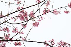 Cherry Blossom Thai Sakura pica a flor durante o inverno na província de ChiangMai, Thaniland fotos de stock royalty free