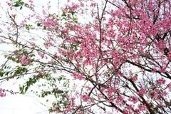 Cherry Blossom Thai Sakura pica a flor durante o inverno na província de ChiangMai, Thaniland foto de stock