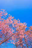 Cherry blossom thailand. Beautiful pink cherry blossoms blooming branches with blue sky Stock Images