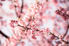 Cherry blossom in Thailand Royalty Free Stock Photos