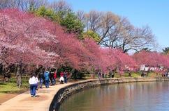 Cherry Blossom tid, Washington DC Fotografering för Bildbyråer