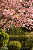 Cherry Blossom Time. Spring time on the Sunshine coast and the cherry trees are in full bloom stock photography