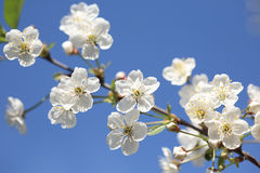Cherry blossom time. Closeup of cherry blossoms on blue sky royalty free stock photo