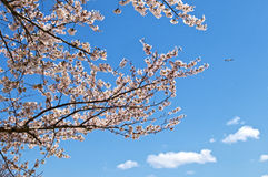 Cherry blossom in Tokyo Stock Photo