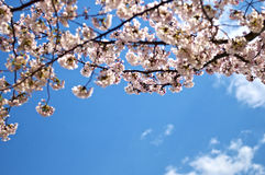 Cherry blossom in Tokyo Royalty Free Stock Images