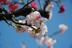Cherry blossom in Tokyo. White and pink cherry blossoming against blue sky Royalty Free Stock Photos