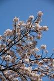Cherry blossom Tokyo Stock Photos