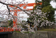 Cherry blossom and Torii Heian Jingu in Kyoto. This picture was taken in Torii Heian Jingu (Heian shrine). The Heian Shrine is a Shinto shrine located in Sakyō Royalty Free Stock Image