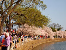 Cherry Blossom Tourists in Washington D.C. Stock Photo