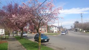 Cherry Blossom Town. In Victoria city of flowers, these pink trees can be seen all around Stock Photo