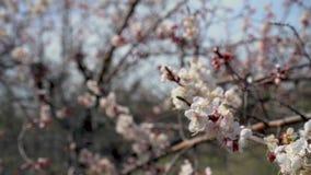 Cherry Blossom träd, natur- och vårtidbakgrund arkivfilmer