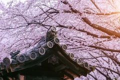 Cherry Blossom with traditional japanese roof. Cherry blossom in spring, Japan.  Stock Photos
