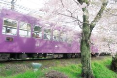 Cherry blossom and train in Japan royalty free stock images