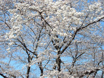 Cherry blossom tree. A blossoming cherry tree with a clear sky as background Stock Image