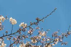 Cherry Blossom Tree Lizenzfreie Stockfotografie