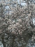 Cherry blossom tree. A cherry blossom tree stock photography