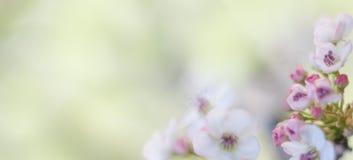 Cherry Blossom Tree royalty-vrije stock fotografie