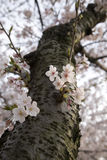 Cherry blossom tree. Looking up a cherry blossom tree, the view one might see during the japanese spring festival ohanami, meaning flower viewing, spring to a stock photos