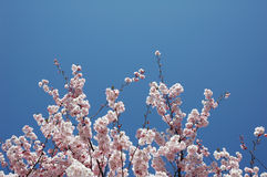 Cherry Blossom Tree. With clear blue sky Stock Photo
