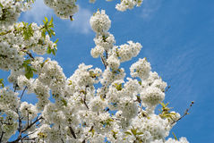 Cherry blossom tree Royalty Free Stock Image