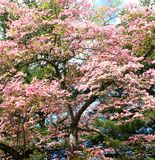 Cherry blossom tree Royalty Free Stock Photos