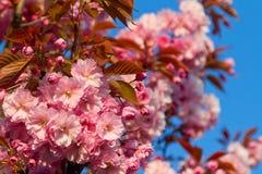 Cherry blossom tree. Beautiful pink cherry blossom tree Royalty Free Stock Photography