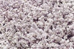 Cherry Blossom Tree Imagenes de archivo