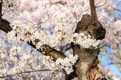 Cherry Blossom Tree Lizenzfreies Stockfoto