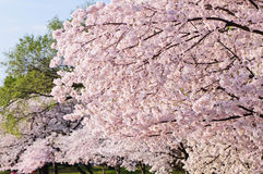 Cherry Blossom Tree Foto de Stock Royalty Free