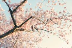 Cherry Blossom Tree. A Cherry blossom tree royalty free stock photo