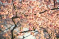 Cherry Blossom Tree imagem de stock royalty free