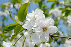 Cherry blossom. Blossom of the cherry tree Stock Photography