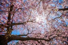 Cherry Blossom Tree Foto de archivo libre de regalías