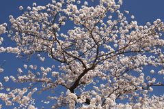 Cherry Blossom Tree Royalty Free Stock Images