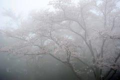 Cherry Blossom Tree Arkivbilder