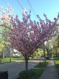 Cherry Blossom Tree foto de stock